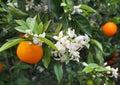 Valencian orange and orange blossoms. Spain. Spring Royalty Free Stock Photo