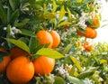 Valencian orange and orange blossoms.Spring harvest Royalty Free Stock Photo