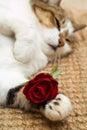 Valentine cat Stock Photos