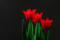 Valentine day with red tulips with black background. Royalty Free Stock Photo