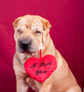 Valentine dog Royalty Free Stock Photo