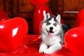 Valentine`s Day Husky Puppy On...