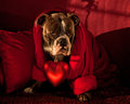 Valentine whid a big heart olde english bulldog with on persian rug and blood red cushions Stock Photos
