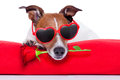Valentines day dog holding a rose in his mouth Royalty Free Stock Images
