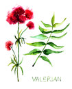Valerian herb with leaves watercolor illustration Stock Images
