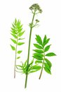 Valerian valeriana officinalis flowering plant isolated in front of white background Royalty Free Stock Images