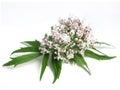 Valerian Valeriana officinalis Royalty Free Stock Photo