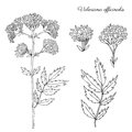 Valeriana officinalis botanical hand drawn vector ink sketch isolated on white background, doodle illustration for