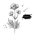 Valeriana officinalis vector drawing. Isolated medical flower and leaves. Herbal engraved style illustration. Detailed