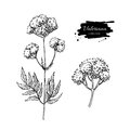 Valeriana officinalis vector drawing. Isolated medical flower and leaves set. Herbal engraved style illustration.