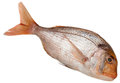 Snapper On White Background