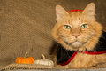 Vampire Cat Royalty Free Stock Photo