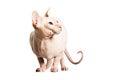 Van don sphinx donsphinx de kat Stock Afbeeldingen