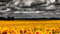 Van gogh summer dramatic evening over sunflowers meadow natural landscape Royalty Free Stock Photos