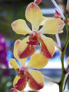 Vanda denisoniana orchid close up Royalty Free Stock Photo