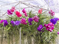 Vanda farm flower background in thailand Stock Photo