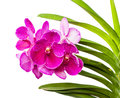Vanda ochid flower isolated on white background Stock Images