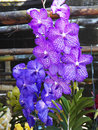 Vanda orchid close up beautiful Royalty Free Stock Image