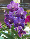 Vanda orchid close up beautiful Stock Image