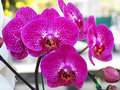 Vanda orchid close up beautiful Stock Images