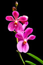 Vanda orchid isolated on black background Stock Photography