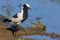 Vanellus plover blacksmith armatus Стоковое фото RF