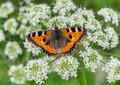 Vanessa atalanta Admiral butterly sitting on flower blossom Royalty Free Stock Photo
