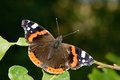 Vanessa atalanta butterfly is basking in the autumn sun Royalty Free Stock Photo