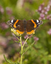 Vanessa atalanta red admiral dorsal view Stock Images