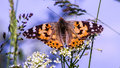 Vanessa cardui Royalty Free Stock Photo