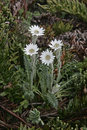 Vanilla daisy leuceria suaveolens flowers in grass falklands Stock Photo