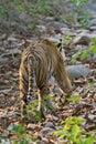 Vanishing tiger Royalty Free Stock Photo
