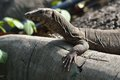Varanus salvator water monitor it sits on tree roots Stock Photos