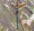 Variable darner dragonfly portrait of a darners are among the largest and fastest flying north american dragonflies they are mm Stock Photos