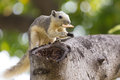 Variable squirrel Royalty Free Stock Photo