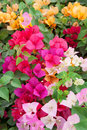 Varicolored bougainvillea paper flowers Royalty Free Stock Photo
