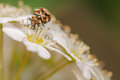 Varied carpet beetle on a bed on white flowers Stock Photography