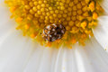Varied carpet beetle on a daisy Royalty Free Stock Photo