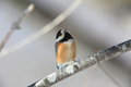 Varied tit pictured on the branch of tree in winter Stock Images