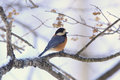 Varied tit pictured the on the tree of branch Royalty Free Stock Photo