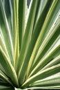Variegated Agave Americana Cactus Royalty Free Stock Photo