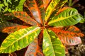 Variegated croton detail close up of the leaves of the plant Stock Photos