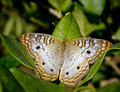 Variegated Fritillary Butterfly Stock Images