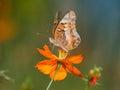Variegated fritillary small butterfly on an orange flower euptoieta claudia Royalty Free Stock Photos
