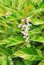 Variegated ginger flower and leaf Stock Image
