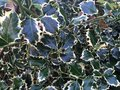 Variegated holly close up of a bush with dark green and yellow leaves Royalty Free Stock Photo