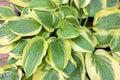 Variegated Hostas Foliage Closeup