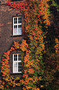 Variegated ivy on a brick wall Stock Photos