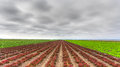 Variegated lettuce field in salinas valley california Royalty Free Stock Photography