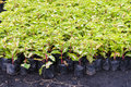 Variegated plant in nursery for sale Stock Photos